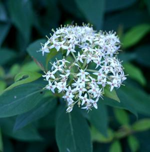 "Cornus racemosa ""J.N. Red Stem"" Thumbnail"