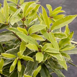 "Illicium floridanum ""Pink Frost"" Thumbnail"