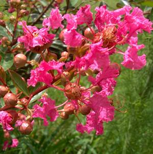 "Lagerstroemia indica ""World's Fair"" Thumbnail"