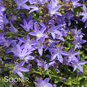 "Campanula persicifolia ""Camgood Blue Waterfall"" Thumbnail"