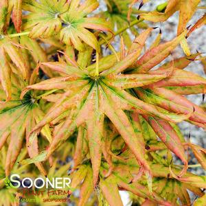 "Acer shirasawanum ""Mr. Sun"" Thumbnail"