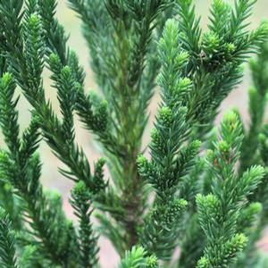 "Cryptomeria japonica ""Black Dragon"" Thumbnail"
