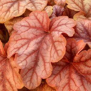 "Heucherella x ""Copper Cascade"" Thumbnail"