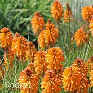 "Kniphofia x ""Poco Orange"" Thumbnail"