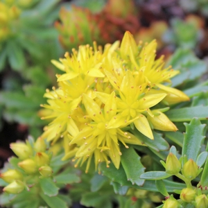 "Sedum floriferum ""Weihenstephaner Gold"" Thumbnail"