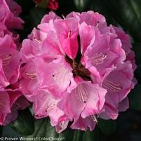 "Rhododendron x ""PKT2011"" Thumbnail"