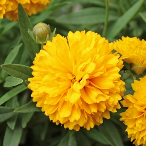 "Coreopsis grandiflora ""Golden Ball"" Thumbnail"