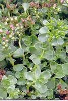 "Sedum spurium ""John Creech"" Thumbnail"