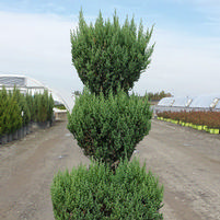 "Juniperus chinensis ""Blue Point"" Thumbnail"