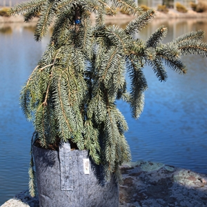 "Picea pungens ""Glauca Prostrata"" Thumbnail"