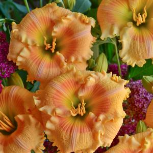 "Hemerocallis x ""Orange Smoothie"" Thumbnail"