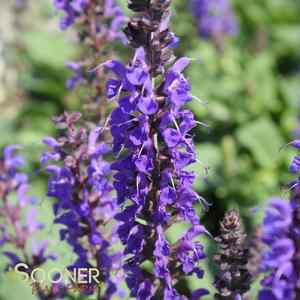 "Salvia sylvestris ""May Night"" Thumbnail"