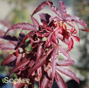 "Acer palmatum ""Winter's Red"" Thumbnail"