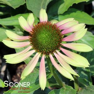 "Echinacea purpurea ""Green Twister"" Thumbnail"