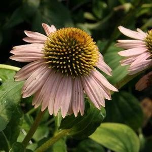 "Echinacea x ""Kim's Knee High"" Thumbnail"