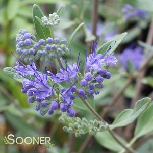 "Caryopteris clandonensis ""First Choice"" Thumbnail"