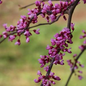"Cercis canadensis ""Pink Heartbreaker"" Thumbnail"