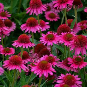 "Echinacea x ""Delicious Candy"" Thumbnail"