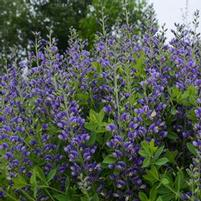 "Baptisia x ""Blueberry Sunday"" Thumbnail"