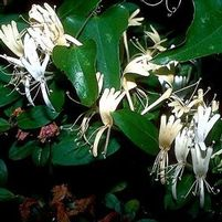 "Lonicera japonica ""Hall's"" Thumbnail"