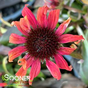 "Echinacea x ""Golden Skipper"" Thumbnail"