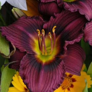 "Hemerocallis x ""Little Grapette"" Thumbnail"