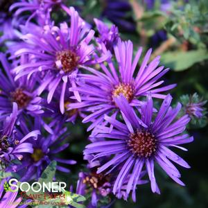 "Aster novae-angliae ""Grape Crush"" Thumbnail"