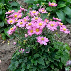 "Anemone x ""Curtain Call Pink"" Thumbnail"