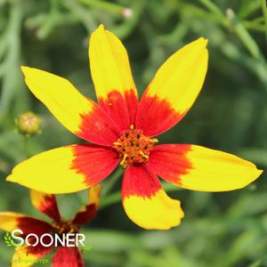 "Coreopsis verticillata ""Curry Up"" Thumbnail"