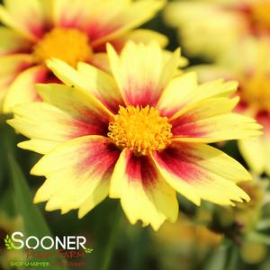 "Coreopsis x ""Enchanted Eve"" Thumbnail"