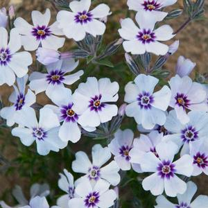 "Phlox subulata ""North Hills"" Thumbnail"