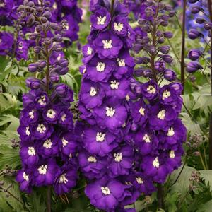 "Delphinium x ""Purple Passion"" Thumbnail"