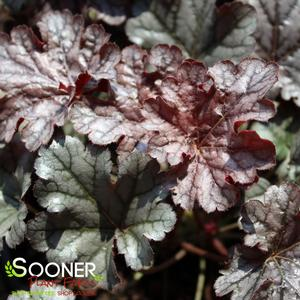 "Heuchera x ""Timeless Treasure"" Thumbnail"
