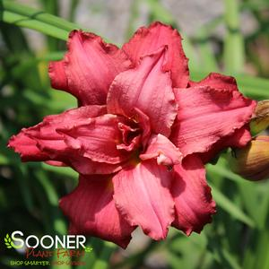 "Hemerocallis x ""Double Pardon Me"" Thumbnail"