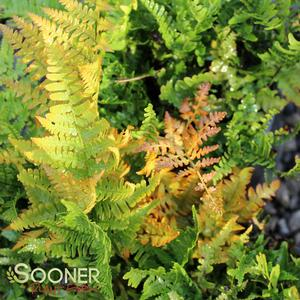 "Dryopteris erythrosora ""Brilliance"" Thumbnail"
