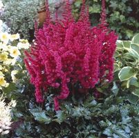 "Astilbe chinensis ""Visions in Red"" Thumbnail"