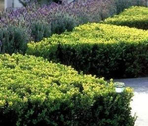 "Buxus microphylla ""Winter Gem"" Thumbnail"