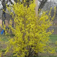 "Forsythia x intermedia ""Lynwood Gold"" Thumbnail"