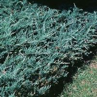 "Juniperus horizontalis ""Bar Harbor"" Thumbnail"