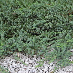 "Juniperus conferta ""Blue Pacific"" Thumbnail"