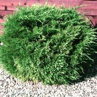 "Juniperus chinensis ""Sea Green"" Thumbnail"