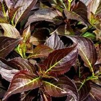 "Weigela florida ""Dark Horse"" Thumbnail"