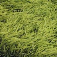 "Hakonechloa macra ""All Gold"" Thumbnail"