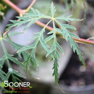 Acer palmatum dissectum 'WATERFALL WEEPING JAPANESE MAPLE'