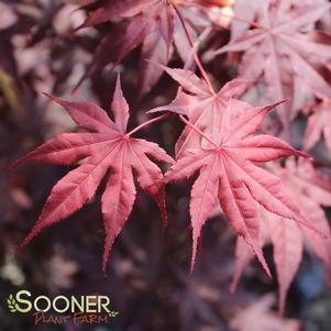 Acer palmatum 'BLOODGOOD UPRIGHT JAPANESE MAPLE'