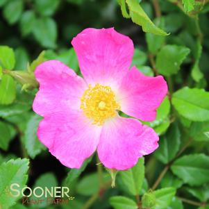 Rosa x 'OSO EASY® FRAGRANT SPREADER ROSE'