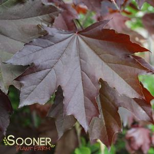 Acer platanoides 'CRIMSON KING NORWAY MAPLE'