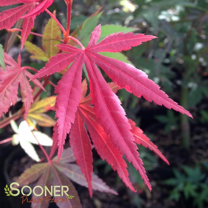 Image Property of Sooner Plant Farm (spring color new growth)