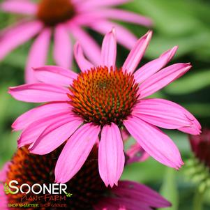 Echinacea purpurea 'RUBY STAR CONEFLOWER'