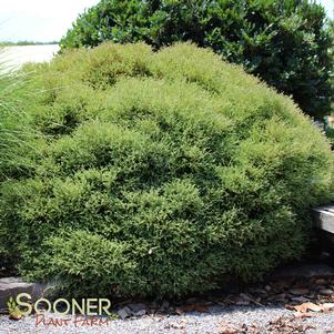 Thuja occidentalis 'MR. BOWLING BALL ARBORVITAE'